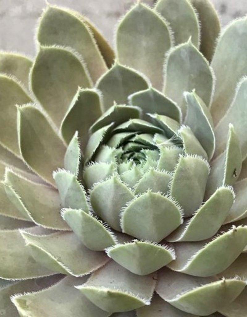 Sempervivum 'Lavender & Old Lace'- 4 inch