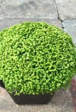Selaginella krauss 'Brownii'- 4 inch