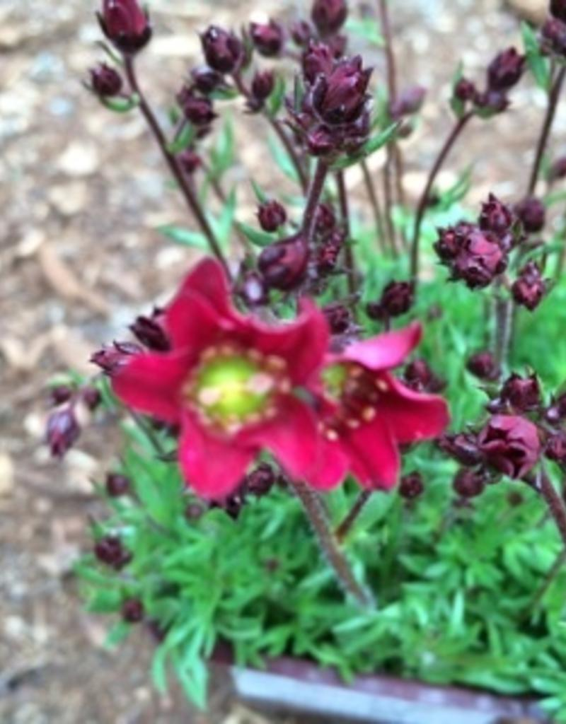 Saxifraga t. 'Deep Red'- 4 inch
