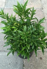 Sarcococca humilis 'Fragrant Valley'- 1 gal