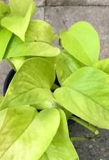 Pothos 'Neon'- 4 inch
