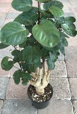 Polyscias scutellaria- 6 inch