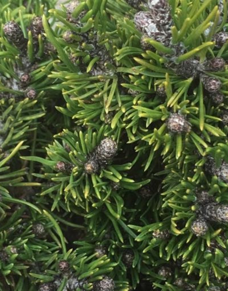 Pinus mugo 'Short Needle'- 4 inch