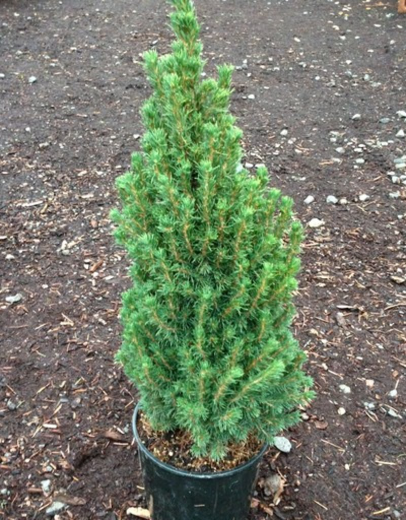Picea glauca 'Jean's Dilly'- 1 gal