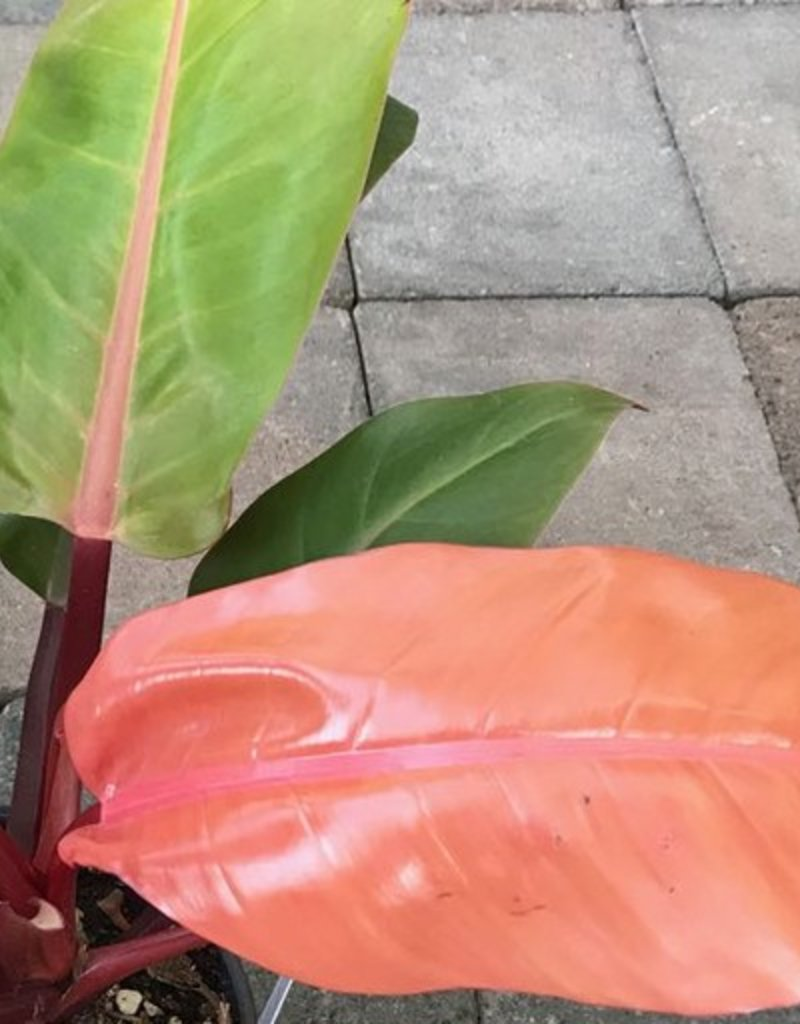 Philodendron 'Prince of Orange' - 6 inch
