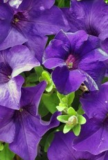 Petunia 'Surfinia Purple Majestic'- 4 inch
