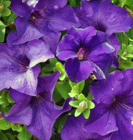 Petunia 'Surfinia Purple Majestic'- 4 inch