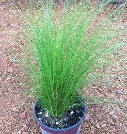Nassella tenuissima- 1 gal