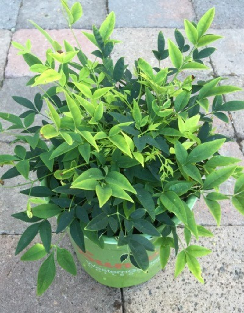 Nandina 'Lemon Lime' - 1 gal
