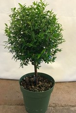 Myrtle Ball Topiary- 4 inch