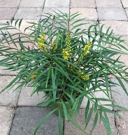 Mahonia 'Soft Caress'- 1 gal