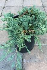 Juniperus horizontalis 'Wiltoni' - 1 gal