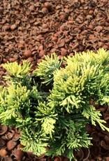 Juniperus horizontalis 'Mother Lode' - 4 inch