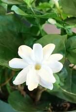 Jasmine sambac- 6 inch