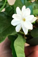 Jasmine sambac- 4 inch