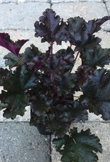 Heuchera 'Dark Secret'- 4 inch