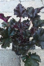 Heuchera 'Dark Secret'- 1 gal