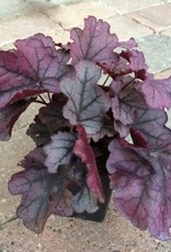 Heuchera 'Cutie Sugar Berry'- Quart