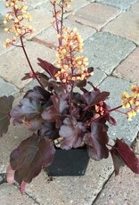 Heuchera 'Cutie Blondie'- Quart