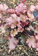 Heuchera 'Cinnamon Curls' - Quart