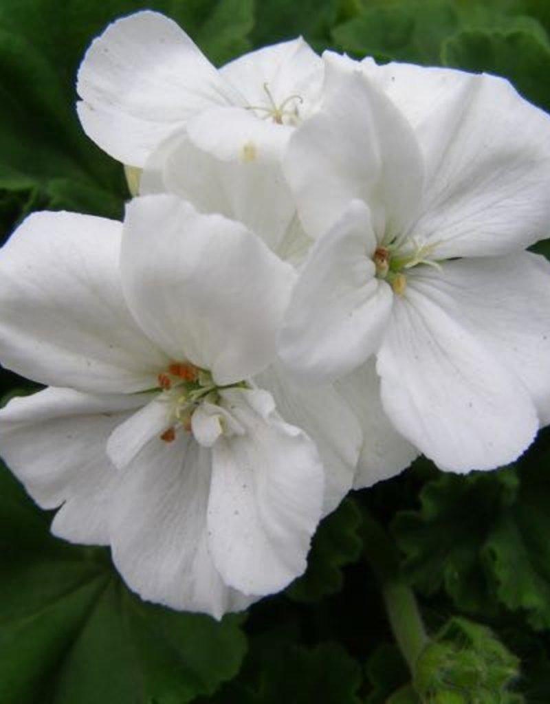 Geranium Zonal 'Allure White'- 4 inch