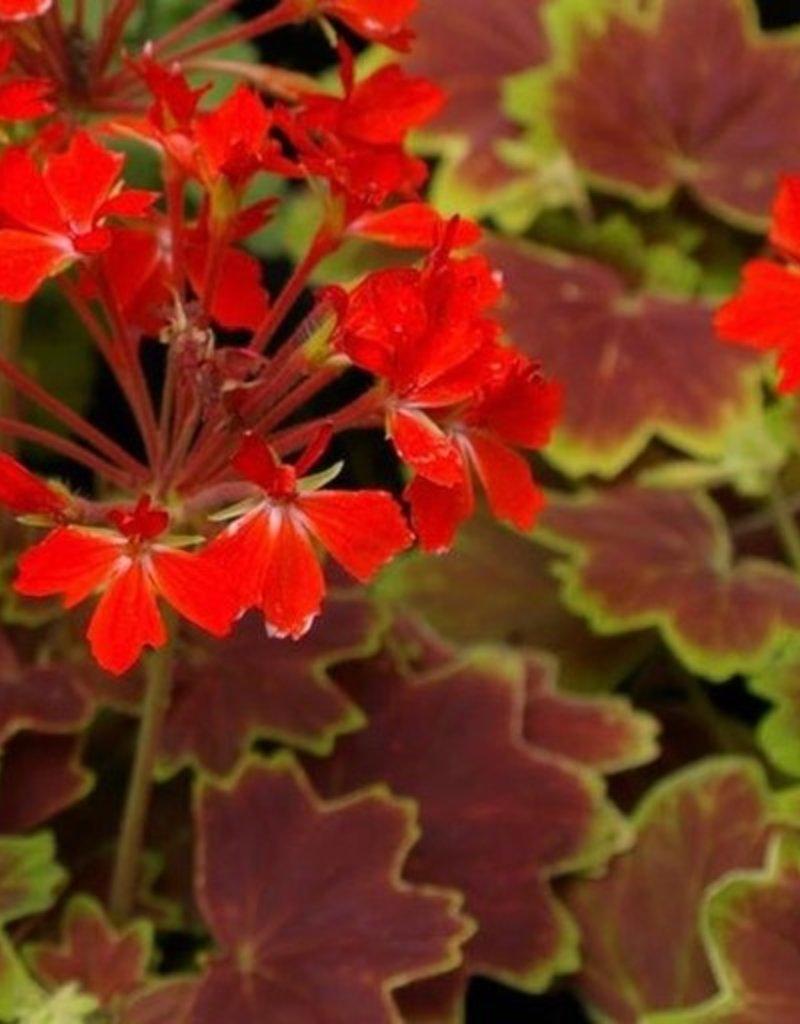 Geranium Fancy Leaf 'Vancouver Centennial'- 4 inch