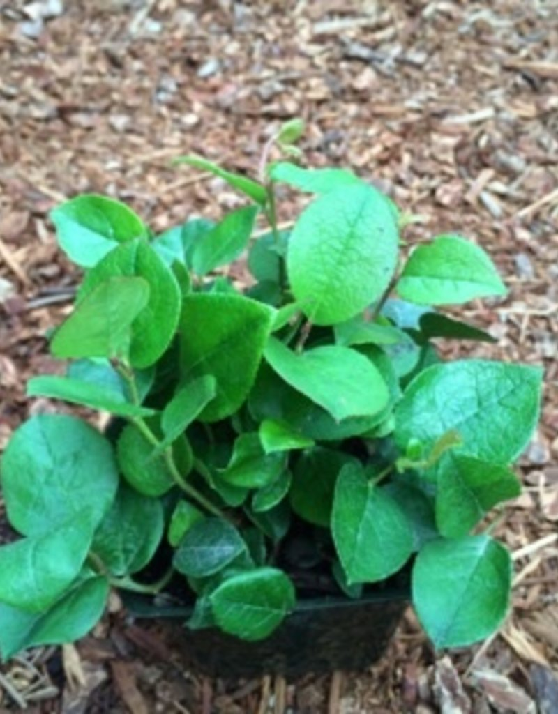 Gaultheria shallon- 4 inch
