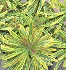 Euphorbia 'Ascot Rainbow'- 1 gal