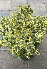 Euonymus f. 'Emerald n Gold'- 1 gal