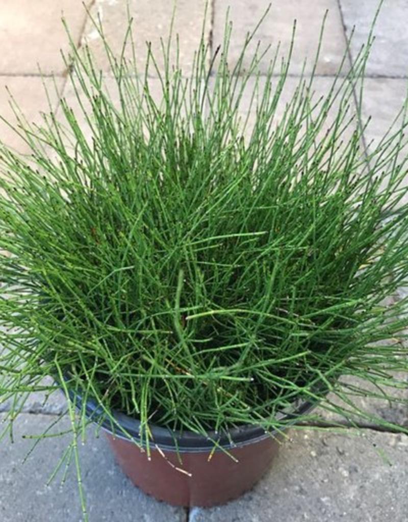 Equisetum scirpoides- 1 gal