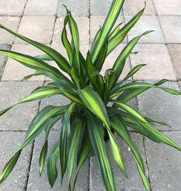 Dracaena 'Rikki'- 6 inch