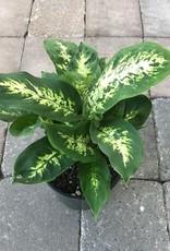 Dieffenbachia 'Perfecta Compacta'- 6 inch