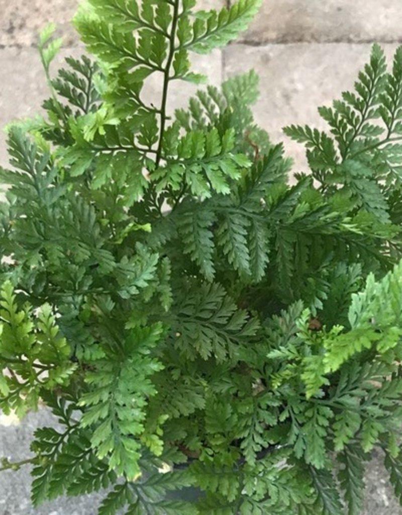 Davallia fejeensis - 4 inch