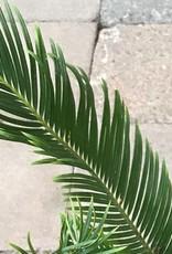 Cycas revoluta- 6 inch