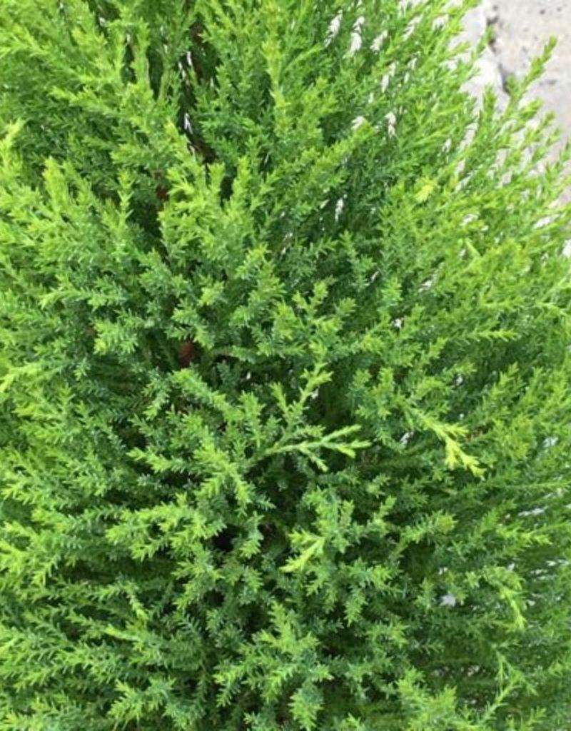 Cupressus macrocarpa 'Wilma'- 6 inch