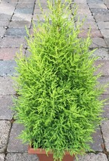 Cupressus macro. 'Wilma'- 8 inch