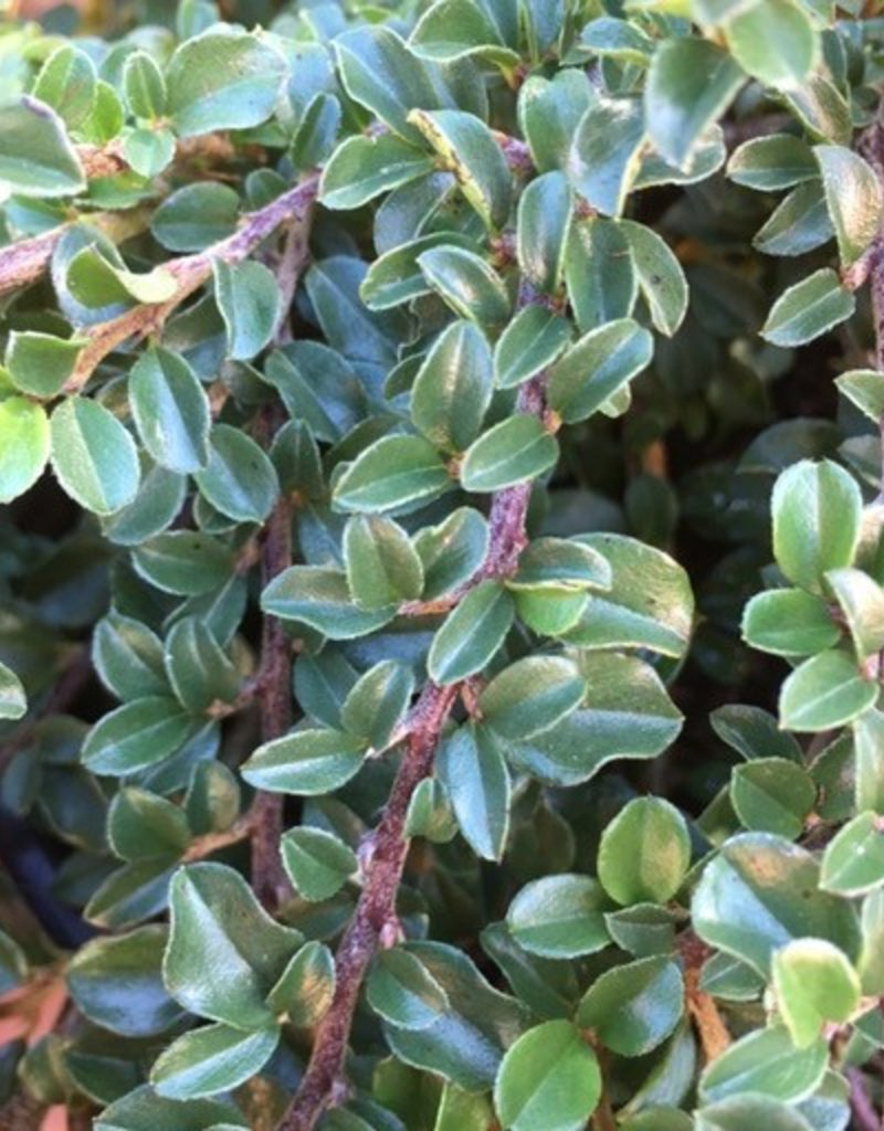 Cotoneaster a. 'Tom Thumb'- 1 gal