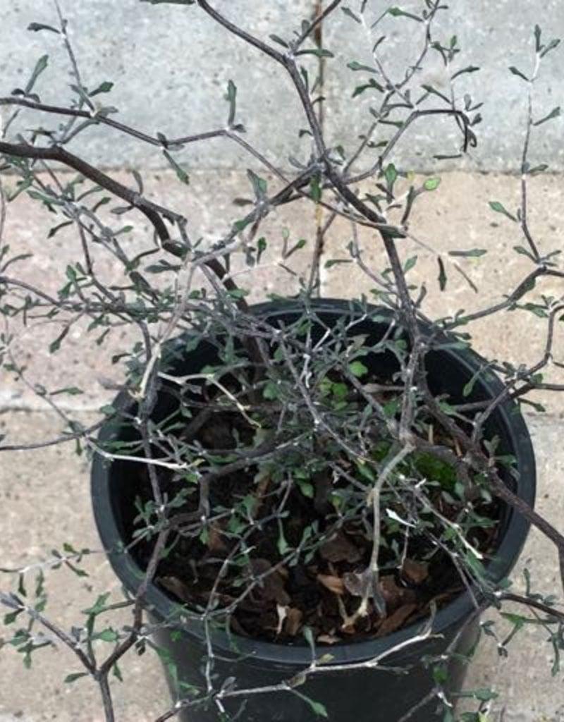 Corokia cotoneaster- 1 gal