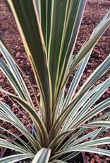 Cordyline australis 'Torbay Dazzler'- 1 gal