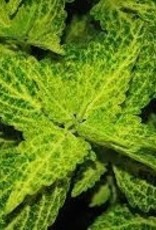 Coleus 'River Walk'- 4 inch