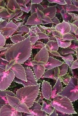 Coleus 'Fifth Avenue'- 4 inch