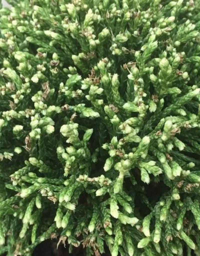 Cham. pisifera 'White Pygmy'- 4 inch