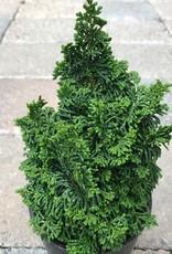 Cham. obtusa 'Gemstone'- 4 inch