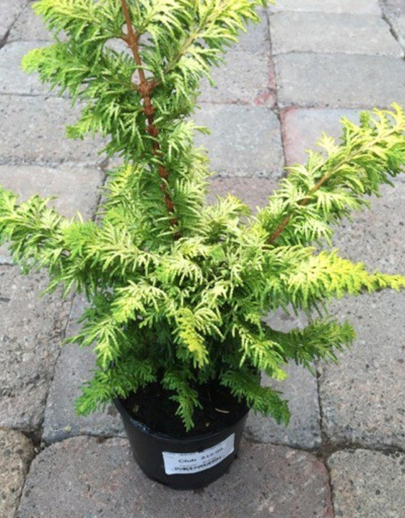 Cham. obtusa 'Fernspray Gold'- 4 inch