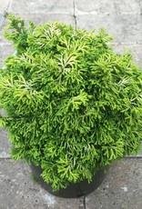 Cham. obtusa 'Butterball'- 1 gal