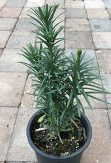 Cephalotaxus h. 'Fastigiata'- 1 gal