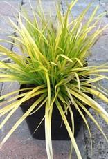 Carex o. 'EverColor Everillo'- 1 gal