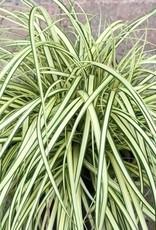Carex 'Evergold'- 1 gal