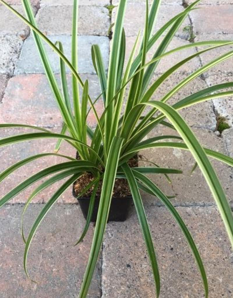 Carex morrowii 'Ice Dance' - 4 inch