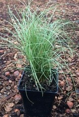 Carex 'Amazon Mist'- 4 inch